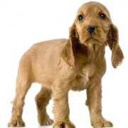 english-cocker-spaniel-puppy